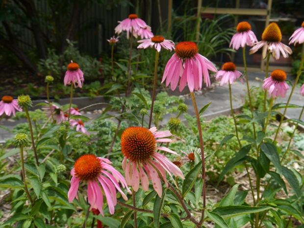 Echinacea in the eco garden