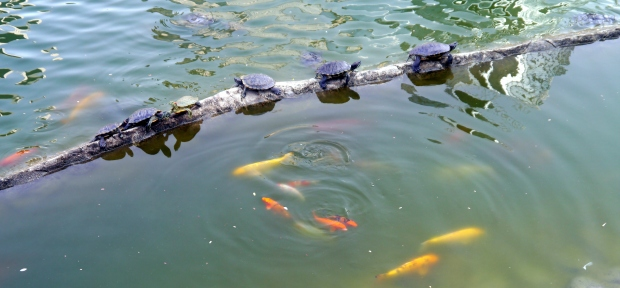I'm in love with the local 'wildlife' around DMC: check out the terrapins sunbathing!